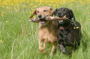 two dogs running together with a stick