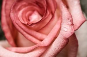 wet pink rose petal