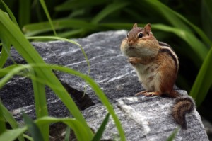 chipmunk chubby cheeks